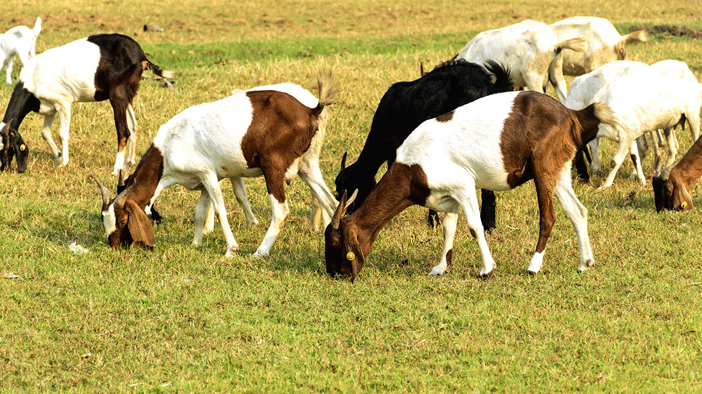 Grass Fed Organic Mutton